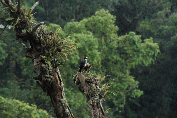 Melanerpes formicivorus Ciudad de Guatemala
