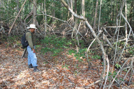 "José Horacio Soriano camina a través de los manglares que patrulla diariamente como ""Guardia de Recursos Naturales"". Foto de Martha Pskowski para Mongabay"