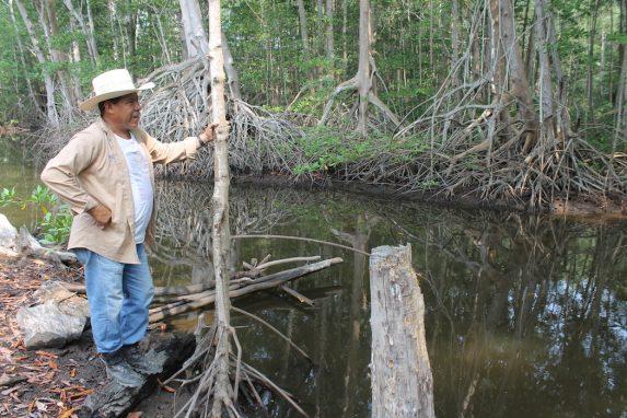 José Antonio Hernández señala las diferentes variedades de manglares que han prosperado desde su restauración. Foto de Martha Pskowski para Mongabay