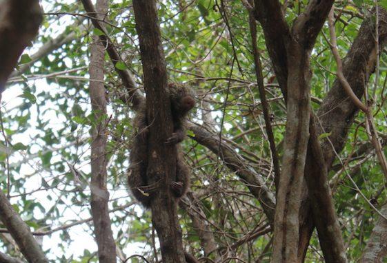 """Un puercoespín duerme en un árbol en un área de manglares conocido como """"La Mesita"""" cerca de la ciudad de La Canoa. Foto de Martha Pskowski para Mongabay"""