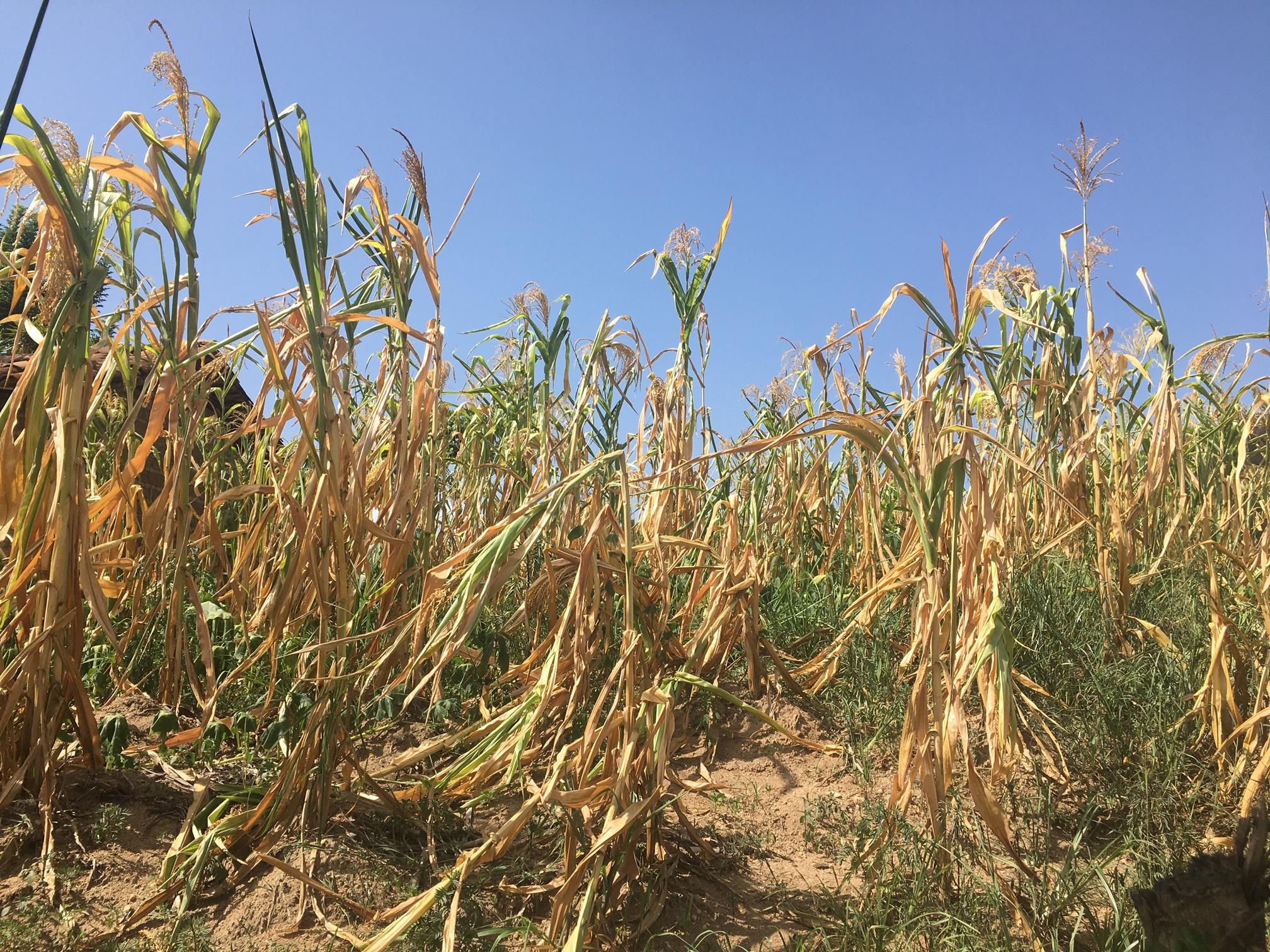 La sequía ha destruido las milpas convencionales. Foto: Sebastián Escalón