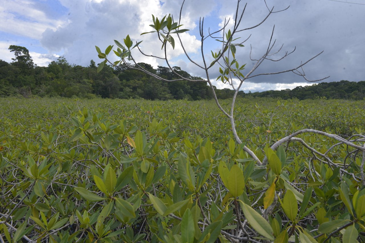 Every year, Guatemala loses approximately 1% of its mangrove coverage / Credit: Jesús Alfonso